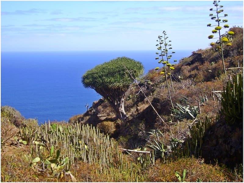 la palma wandern-drachenbaum-am-wanderweg