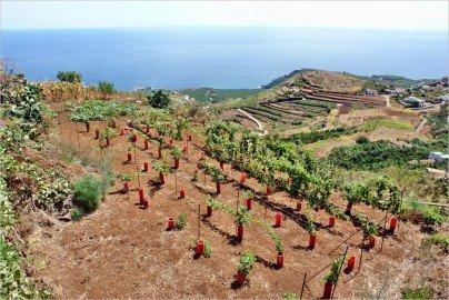 La Palma Wandern Neuer Weinberg
