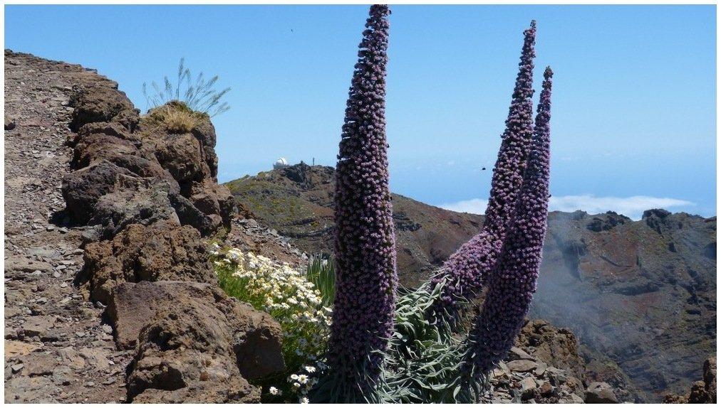 La Palma Bilder Natternkopf am Espingon de Los Muchachos