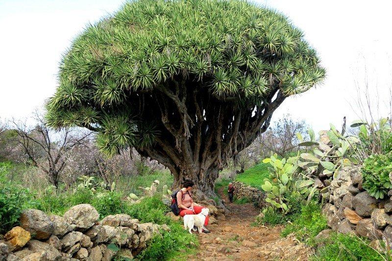 La Palma Wanderungen,Drachenbaum,