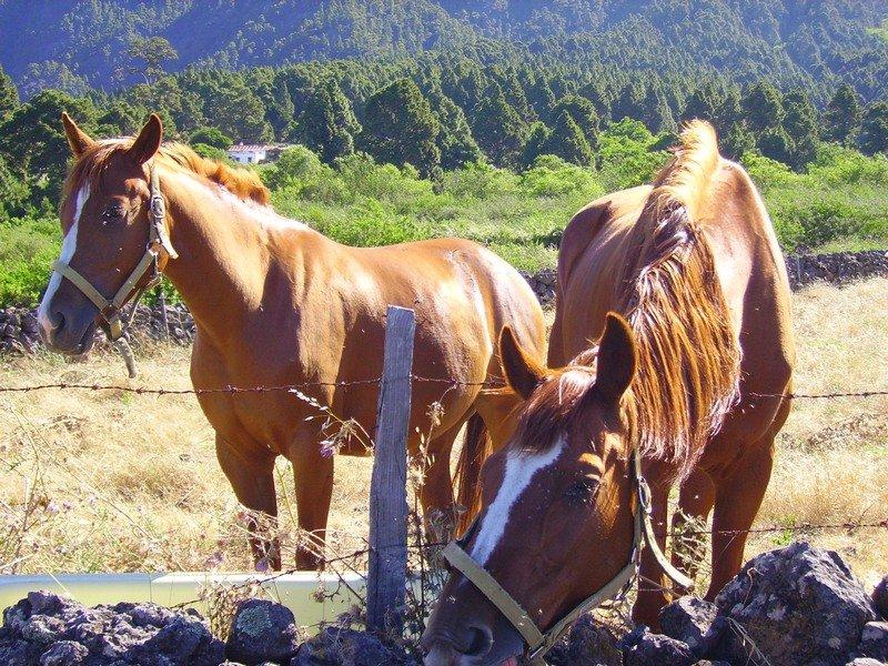 La Palma Wanderungen_auch Pferden gefällt die Hochebene