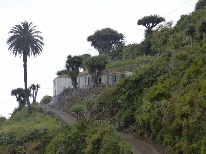La-Palma-Wandern-Franceses-Drachenbäume